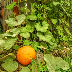 Single pumpkin by a fence corner