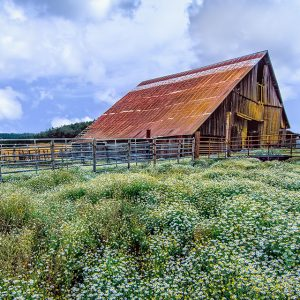 An old barn with blooming flowers near Shedd, Oregon.